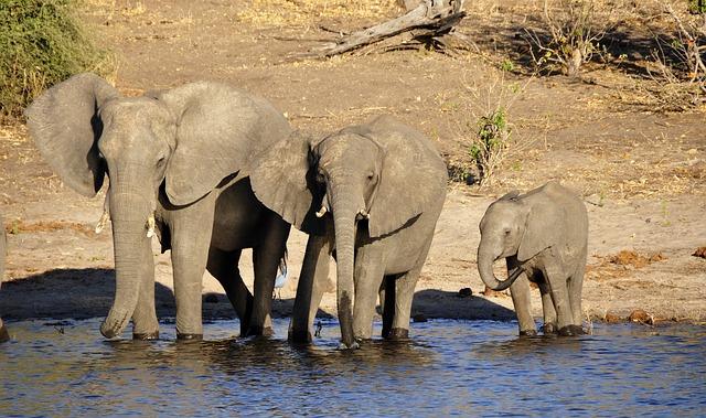 safari éléphants, réserve africaine