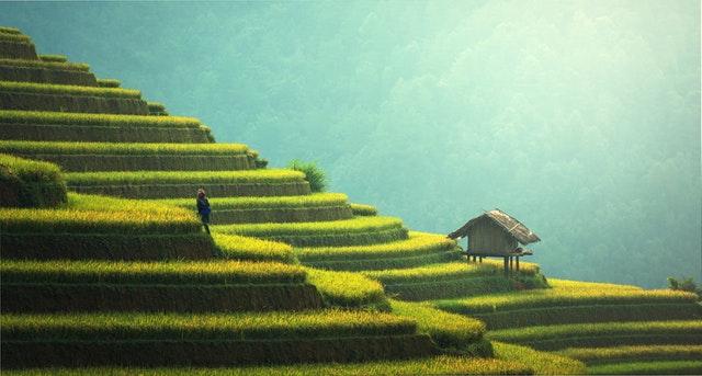 Les rizières en Asie.